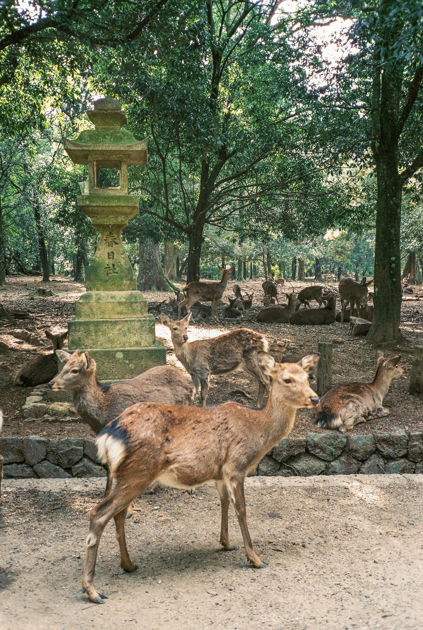 NARA Japan der heilige Hirsch Wahrzeichen
